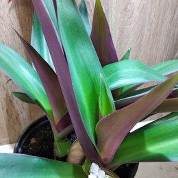 Комнатные растения - Традесканция Рео, 0