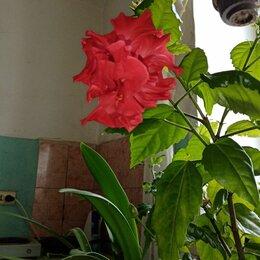 Комнатные растения - Гибискус красный махровый, 0