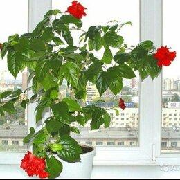 Комнатные растения - Гибискус или китайская роза , 0