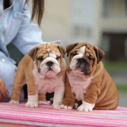 Собаки - Английский бульдог щенки, 0