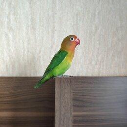 Животные - Попугай Розовощёкий неразлучник фишера, 0