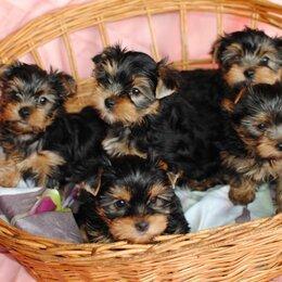 Собаки - Йоркширский терьер стандарт щенки, 0
