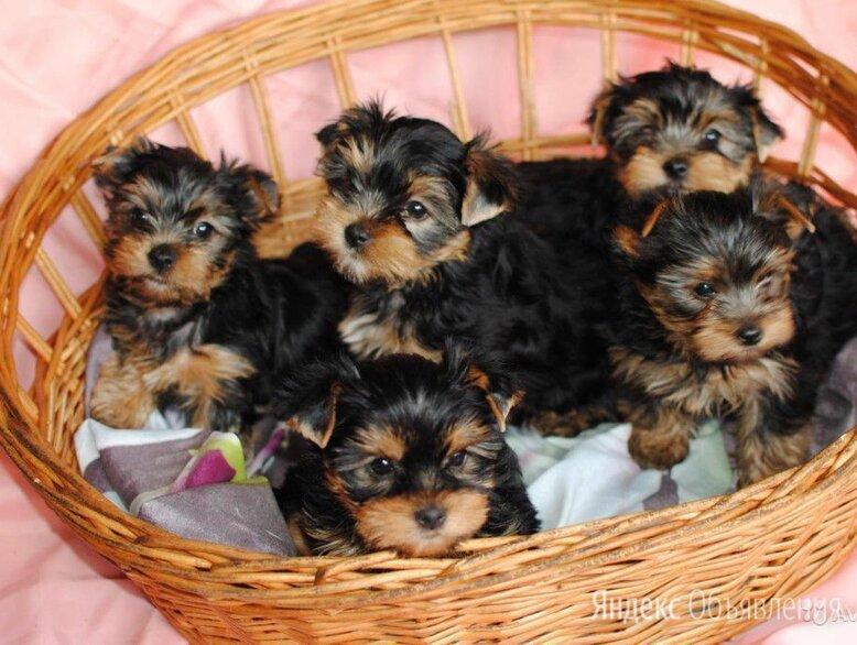 Йоркширский терьер стандарт щенки по цене 20000₽ - Собаки, фото 0