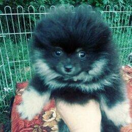 Собаки - Померанка черноподпалая, 0