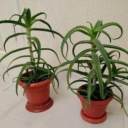 Комнатные растения - Алоэ, 0
