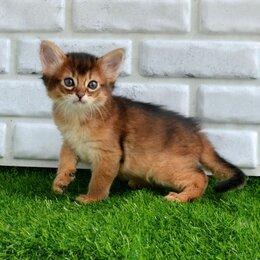 Кошки - Сомалийские котята, 0