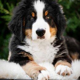Собаки - Порода собак бернский зенненхунд, 0