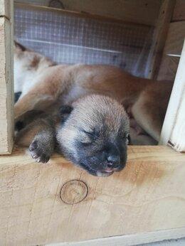Собаки - Продаются щенки сиба-ину, 0
