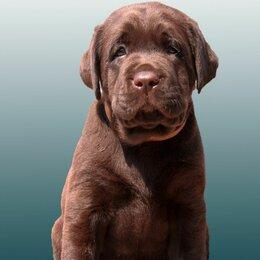 Собаки - Шоколадные щенки лабрадора ретривера РКФ/FCI, 0