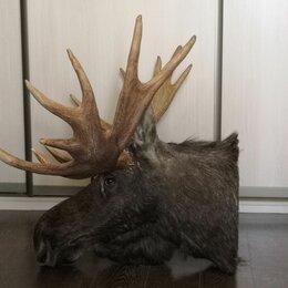 Рога, шкуры, чучела животных - Чучело настенное голова Лося с большими рогами 1,4 метра в интерьер ! , 0