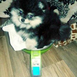 Собаки - Померанский шпиц черно подпалый щенок 4 месяца, 0