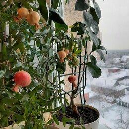 Комнатные растения - Комнатный самоопыляемый гранат, 0