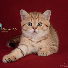 Кошки - Шотландская кошечка страйт, 0