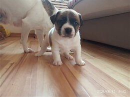 Собаки - Щенки Джек Рассел терьер, 0