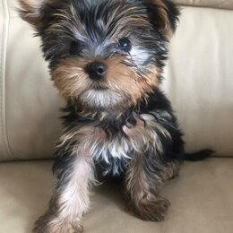 Собаки - Йорик пацаньчик мини, 0