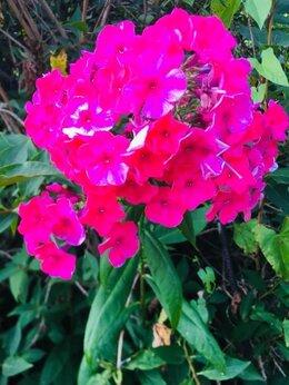 Рассада, саженцы, кустарники, деревья - Флокс малиновый, 0