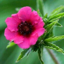 Рассада, саженцы, кустарники, деревья - Лапчатка непальская Мисс Вильмотт, 0