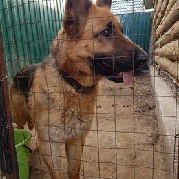 Собаки - Продажа щенков немецкой овчарки , 0
