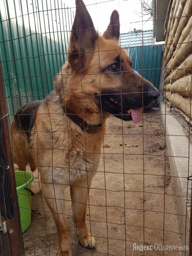 Продажа щенков немецкой овчарки  по цене 10000₽ - Собаки, фото 0