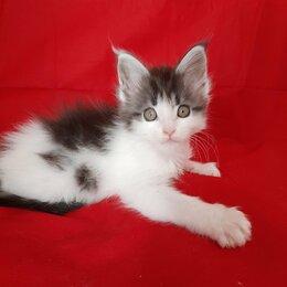 Кошки - Продоются котята Мейн куна , котик 50 т а кошечка 80 т пишите., 0