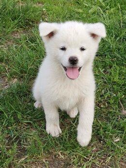 Собаки - Акита ину , 0