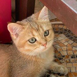 Кошки - Кошечка британская золотая шиншила, 0