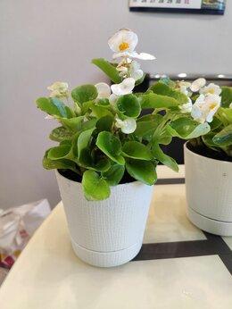 Комнатные растения - Бегония вечноцветущая, 0