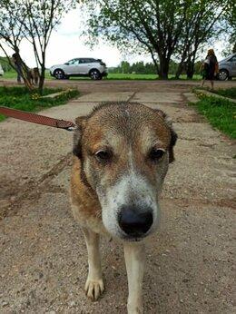 Собаки - Добрая и спокойная алабайка Альта ждёт особенную…, 0