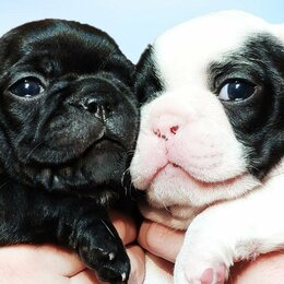 Собаки - Французский бульдог щенки , 0