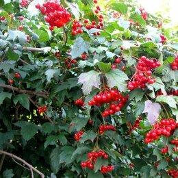Рассада, саженцы, кустарники, деревья - Калина сорт Майская сладкая , 0