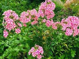 Рассада, саженцы, кустарники, деревья - Флокс двухцветный розово-белый, 0