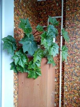 Комнатные растения - Бегония воротничковая, 0