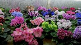 Комнатные растения - Фиалки - излишки коллекции, 0