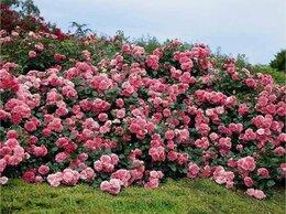 Рассада, саженцы, кустарники, деревья - Саженцы почвопокровных роз недорого из питомника, 0