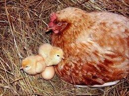 Птицы - Курица - наседка. , 0