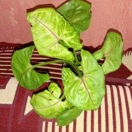 Комнатные растения - Сингониумы , калатея , аглоанема , 0