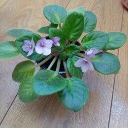 Комнатные растения - Фиалка , 0