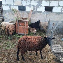 Сельскохозяйственные животные и птицы -  Продам  овцы, 0
