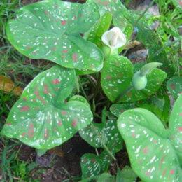 Комнатные растения - Продам Каладиум, 0