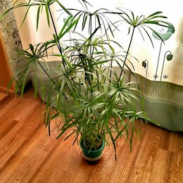 Комнатные растения - Циперус, 0