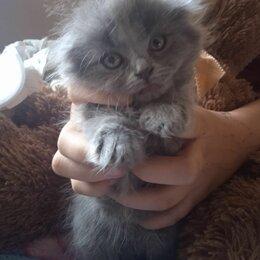 Кошки - Котята шотландские вислоуихие, 1,5месяца лоток знают едят все, 0