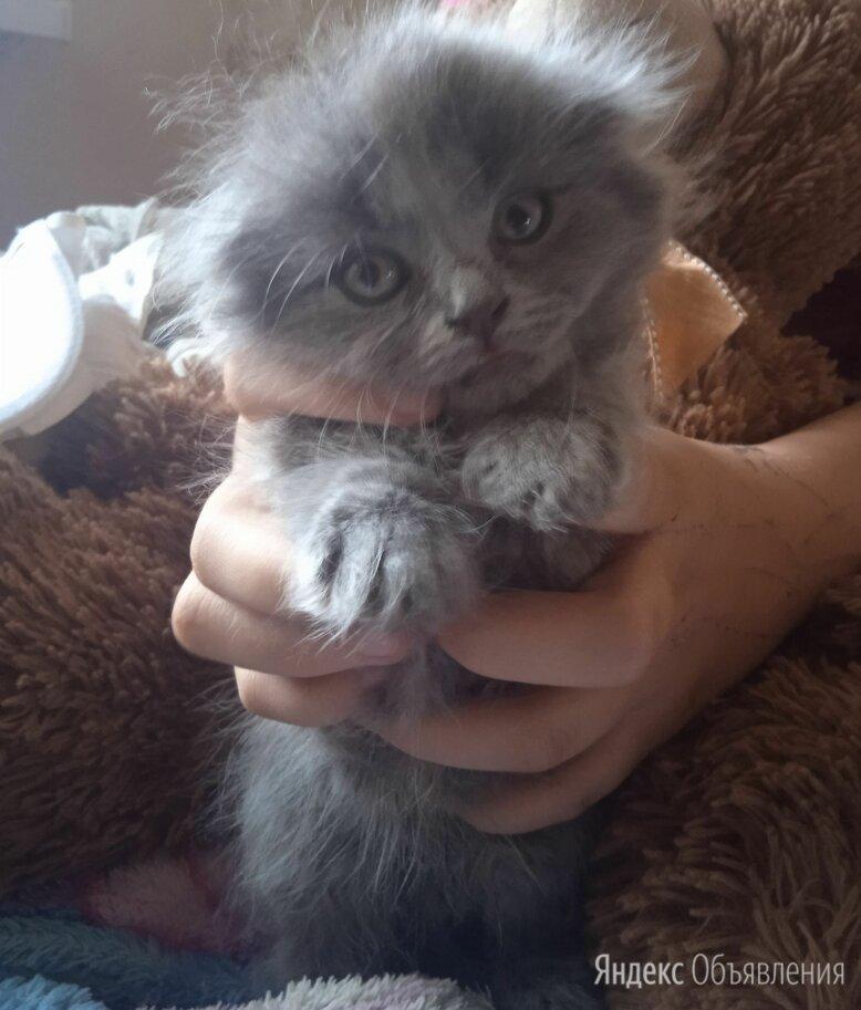 Котята шотландские вислоуихие, 1,5месяца лоток знают едят все по цене 1000₽ - Кошки, фото 0