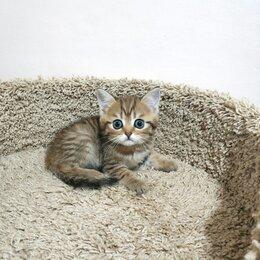 Кошки - Сказочной красоты котёнок - скоттиш страйт ny 24, 0