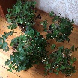 Комнатные растения - Оксалис- Кислица, 0