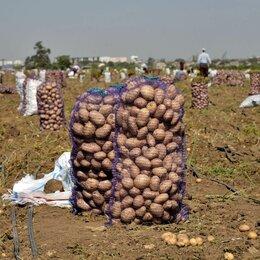 Лук-севок, семенной картофель, чеснок - Картофель оптом с поля от КФХ. Урожай 2021, 0