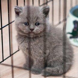 Кошки - Британский котенок Гюнтер, 0