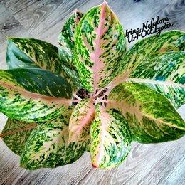 Комнатные растения - Аглаонема Lak Sab Thong (домашняя) , 0