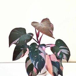 Комнатные растения - Филодендрон Пинк Принцесс, 0