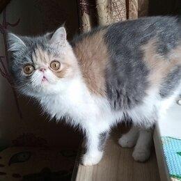 Кошки -  ЭКЗОТИЧЕСКИЕ  породистые КОТИКИ, 0