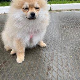Собаки - Померанский шпиц кремовый, 0